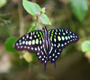 Green Spotted Butterfly. Wings Stock Image