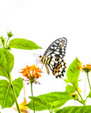 Green spotted butterfly Royalty Free Stock Photo