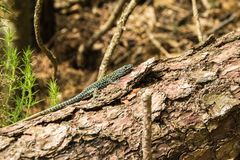 Green spotted forest lizard sitting on a tree and looking at the camera. Common Wall Lizard Podarcis muralis. Green spotted forest lizard sitting on a tree and royalty free stock photos