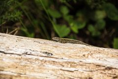 Green spotted forest lizard sitting on a tree and looking at the camera. Common Wall Lizard Podarcis muralis.  royalty free stock images