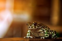 Green spotted frog. Close-up of a beautiful green spotted frog or Pelophylax ridibundus  with large black eyes sitting on a wooden shelf Royalty Free Stock Image