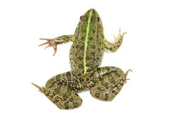 Green spotted frog nestled Royalty Free Stock Image