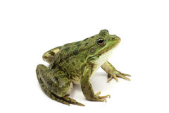 Green spotted frog Stock Photos