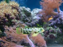 Green Spotted Mandarin Fish. Marine mandarin, dragonet fish, spotted and brightly coloured Stock Photo