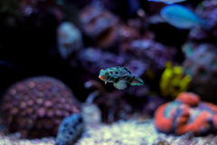 Free Green Spotted Mandarin Fish Stock Photography - 85451152