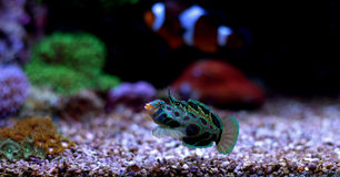 Free Green Spotted Mandarin Fish Royalty Free Stock Photography - 85451367