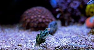 Green Spotted Mandarin Fish stock photos