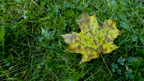 Green spotted maple leaf. On green grass damp with raindrops Stock Photography