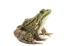 Green spotted marsh frog Royalty Free Stock Photo
