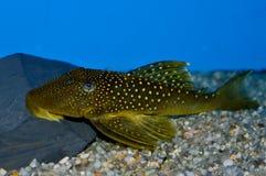 Green spotted Phantom Pleco fish Stock Photos