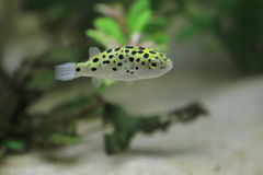 Green spotted puffer Stock Images