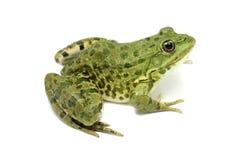 Green spotty frog Royalty Free Stock Photos