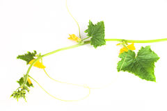 Green sprig of cucumber with yellow flowers on a white backgroun Royalty Free Stock Image