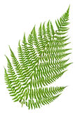 Green sprig of fern Royalty Free Stock Photo