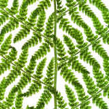 Green sprig of fern Stock Image