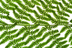 Green sprig of fern Stock Photography