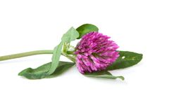 Green sprig of flowering clover. Lies on a white backgroundбthe symbol of St. Patrick's Day Royalty Free Stock Photos
