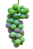 Green sprig gradually ripening blue grapes Stock Photography