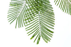 Green sprig of leaves Royalty Free Stock Photo