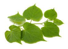 Green sprig of linden-tree Royalty Free Stock Photos