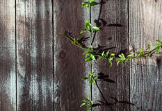 Green Sprig on Wood Fence Plank with Knots Stock Photo