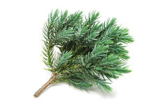 Green sprig of yew Stock Photos