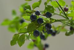 Sprig with fresh ripe blueberries with water drops Royalty Free Stock Images