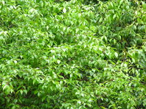 Green Spring. Background of bright green leaves on tree Royalty Free Stock Images