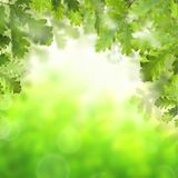 Green spring background with green oak leaves royalty free stock photos