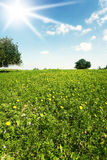 Green spring blossoming field Stock Photography