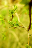 Green spring buds Stock Image