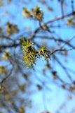 Green spring buds  ash tree Royalty Free Stock Images