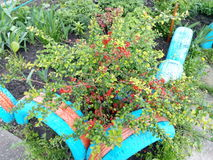 Green spring bush plant with red flowers on a city flowerbed Royalty Free Stock Images