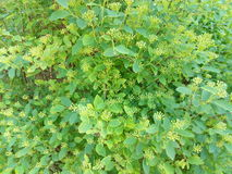 Green spring bush with small flowers Stock Photography