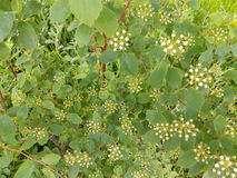 Green spring bush with small leaves and white flowers Royalty Free Stock Photo