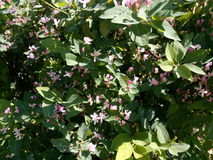 Green spring bush with small pink flowers Royalty Free Stock Image