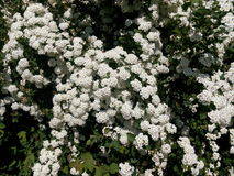 Green spring bush studded with small white flowers Stock Photo