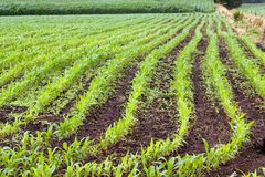 Green spring corn field Royalty Free Stock Photos