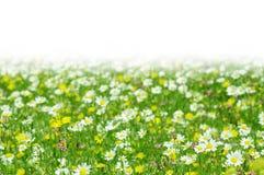 Green spring daisy flowers Royalty Free Stock Photo