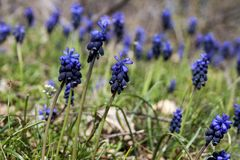 Green spring field with grape hyacinths Royalty Free Stock Photo