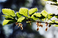 Green spring foliage on alder Stock Photography