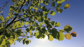 Green spring foliage of young aspen in the wind stock video