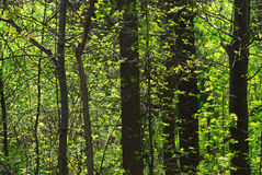 Green spring forest royalty free stock photo