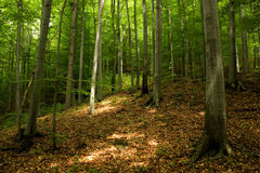 Green spring forest. High trees in green spring forest Royalty Free Stock Photography