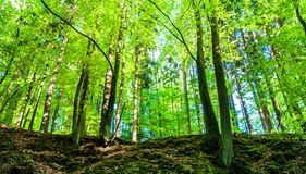Green, spring forest. Stock Image