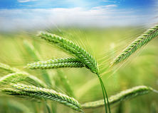 Green spring grains Royalty Free Stock Image