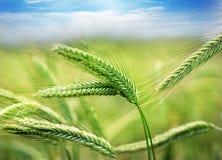 Green spring grains. Close up Royalty Free Stock Image
