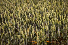 Green spring grains, wheat ears on field of rye Stock Photography