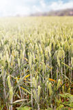 Green spring grains, wheat ears on field of rye Stock Images