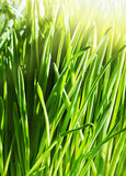 Green spring grass Stock Photo